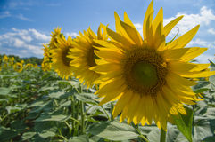 Sunflower. Field in Tuscany, Italy Stock Image