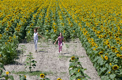 In sunflower field Stock Images