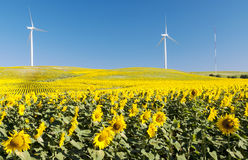 Sunflower field with two windmills Royalty Free Stock Photography