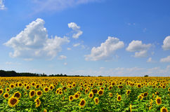 Sunflower field. Under beautiful summer cloudy sky Royalty Free Stock Images