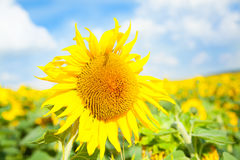Sunflower. Field under blue sky Royalty Free Stock Photography