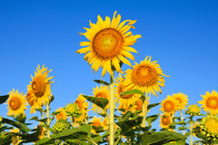 Sunflower Field. Stock Image