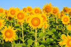 Sunflower Field. Royalty Free Stock Images