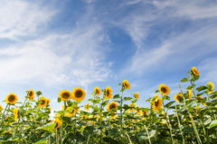 Sunflower field under blue sky Royalty Free Stock Images