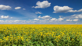 Sunflower field under blue sky Stock Images