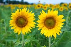 Sunflower field under blue sky Stock Photography