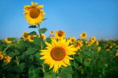 Sunflower field under blue sky Royalty Free Stock Photos