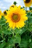 Sunflower field under blue sky Royalty Free Stock Image