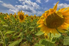 Sunflower field under blue sky. And big shame sunflower close Royalty Free Stock Images