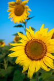Sunflower field under blue sky. Sunflower bloom Stock Photos