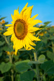 Sunflower field under blue sky. Sunflower blossom Royalty Free Stock Photos