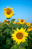 Sunflower field under blue sky. Field, sunflower blossom Stock Image