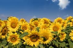 Sunflower field under blue sky Royalty Free Stock Photo