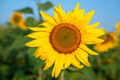 Sunflower field under blue sky. Close-up Stock Image