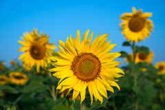 Sunflower field under blue sky. Close up Stock Photos