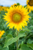 Sunflower field under blue sky. Close up Royalty Free Stock Images