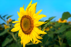 Sunflower field under blue sky. Close up Stock Image