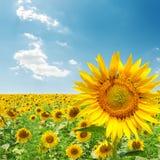 Sunflower on field under blue sky Stock Image