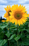 Sunflower field under blue sky. Front view Stock Photography