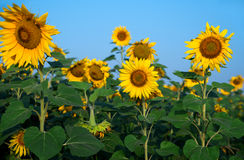 Sunflower field under blue sky. General view Royalty Free Stock Photos