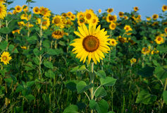 Sunflower field under blue sky. Field general view Royalty Free Stock Photo