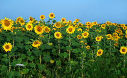 Sunflower field under blue sky. General view Stock Photography