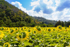 Sunflower field under blue sky Royalty Free Stock Photography