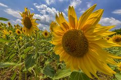 Sunflower field under blue sky. And big sunflower close Royalty Free Stock Images