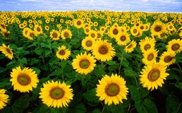 Sunflower Field Under Blue Sunny Sky Stock Photo