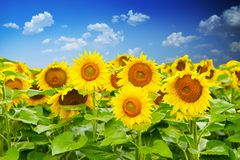 Sunflower field under a clear blue sky with white clouds as wallpaper Stock Photo