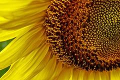 Sunflower 4 Stock Photos