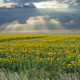Sunflower field under sunshine and clouds Stock Images