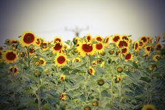 Sunflower field with vignette Royalty Free Stock Photography