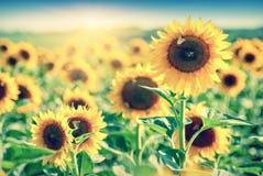 Sunflower_field_vintage 图库摄影