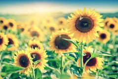 Sunflower_field_vintage fotografía de archivo
