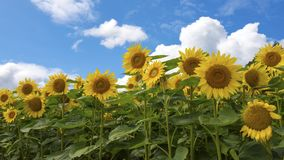 Sunflower field Wallpaper Royalty Free Stock Photography