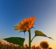 Sunflower field in warm evening light Stock Photography