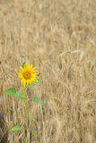 Sunflower in a field Stock Photography