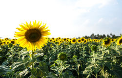 Sunflower in the field on white background Stock Image