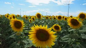 Sunflower field with wind mill in the back. Many windmills rotating during windy summer cloudy day on yellow field with sunflowers stock video