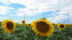 Sunflower field with wind mill in the back. Many windmills rotating during windy summer cloudy day on yellow field with sunflowers stock footage