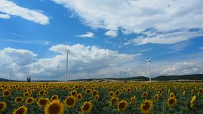 Sunflower field with wind mills at the back. Many windmills rotating during windy summer cloudy day on yellow field with sunflowers stock video