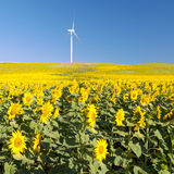 Sunflower field with  windmill Stock Photos