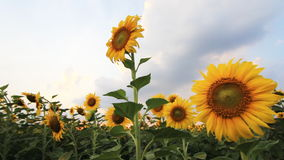 Sunflower field on a windy stock video footage