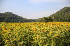 Sunflower field Withered Droop. With blue sky and mountain Royalty Free Stock Photography