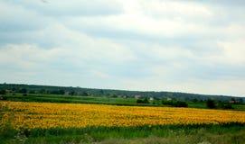 Sunflower field scenery Royalty Free Stock Image