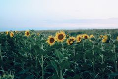 Sunflower field. Yellow bud close up natural background stock photography