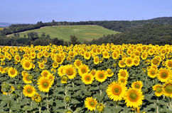Sunflower field. Yellow sunflower (Helianthus annuus) field in blossom Stock Images