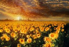 Free Sunflower Field Yellow Landscape Sunset Bright Sun Lights Royalty Free Stock Photography - 154127847