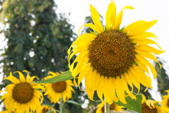 Sunflower in the field. Yellow sunflower in the field at noon time Stock Image